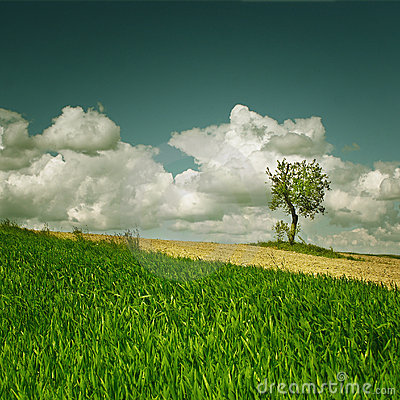 Corn field with lonely tree