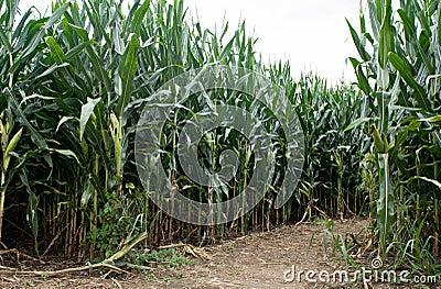 Corn Field Path