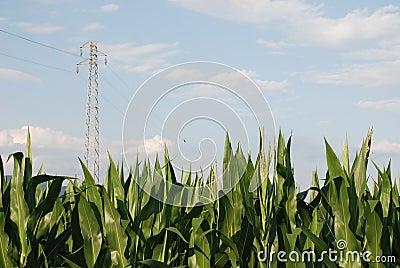 Corn Field and Pylon 1