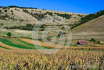 Corn field romania