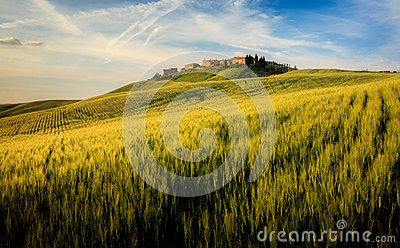 Corn Field in Tuscany
