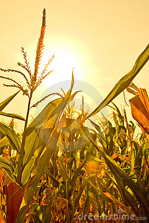 Free Corn Field With Sun Stock Image - 2961781
