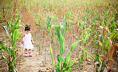 Corn field2