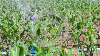 Corn fields are also watered by springkle. stock video footage