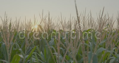 Corn Fields Farmland archivi video
