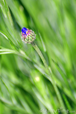 corn flower bud