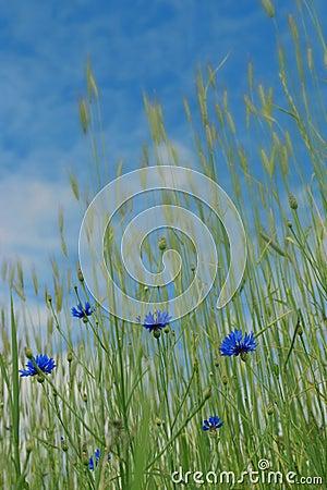 Corn-flowers