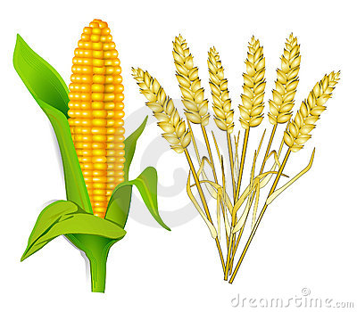 Corn and grain