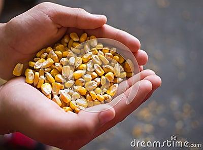 Corn in hands