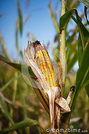 Corn Harvest Time Field Farm Agriculture