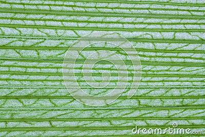 Corn leaf texture