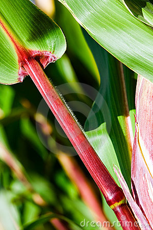 Corn leaves and stalk