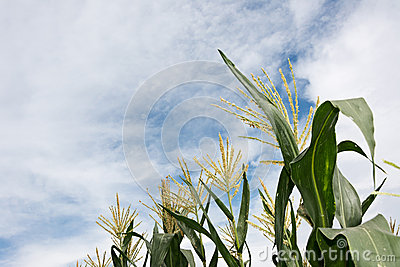 Corn maize farm