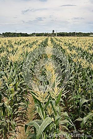 Corn maize farm