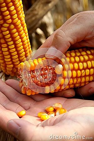 Corn - maize on the hand