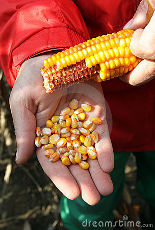 Corn - maize on the hand