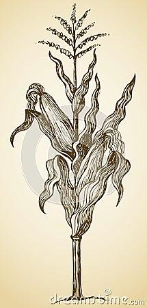 Free Corn Plant Stalk. Vector Sketch Royalty Free Stock Photos - 49862638