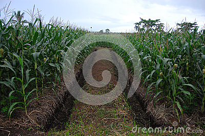 Corn plantation with ditch