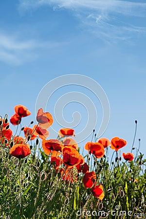 Corn Poppy Flowers Papaver rhoeas