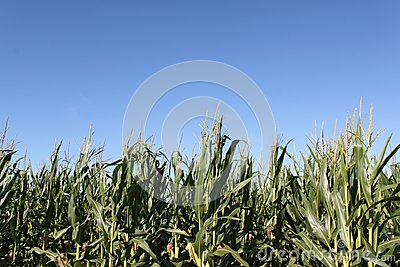 Corn Ready For Harvest