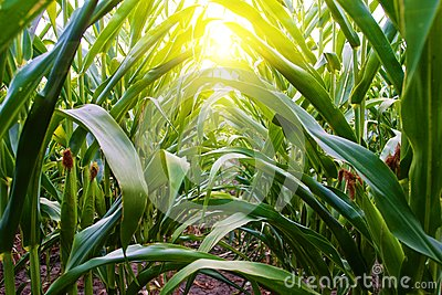 Corn Row on Amish Midwest Farm