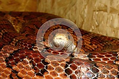 Corn Snake (Pantherophis guttatus)