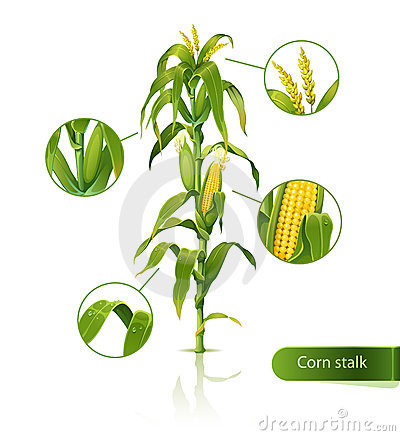 Free Corn Stalk. Stock Photo - 24265550