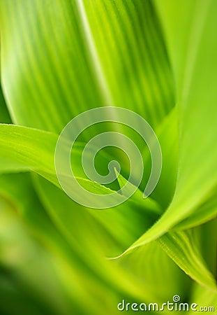 Corn stalk leaves Macro