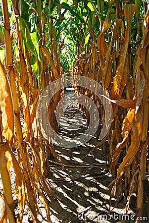 Corn stalk Maze aisle
