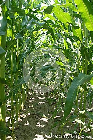 Corn Stalk Rows