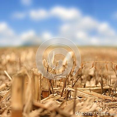 Corn Stem (cut) Close-Up