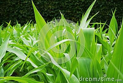 Corn stems