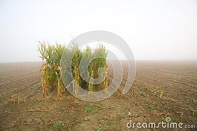 Corn stubble field on a misty morning