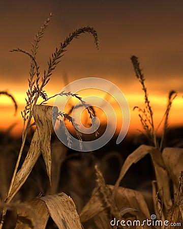Corn Sunset