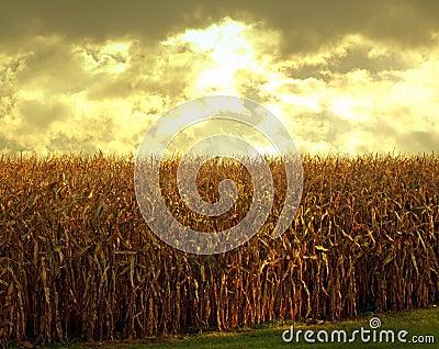 Cornfield at dusk