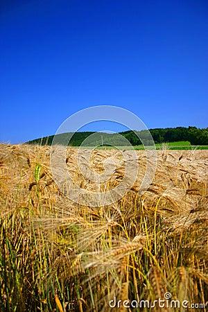 Cornfield en blauwe hemel