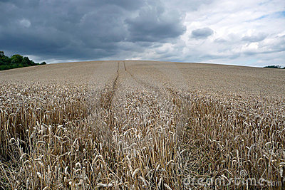 Cornfield in Picardy