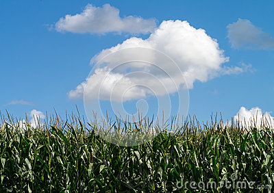 Cornfield and puffy clouds background