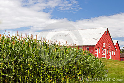 Cornfield and red barn