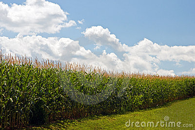 Cornfield under summer sky