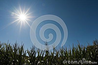 Cornfield under the sun