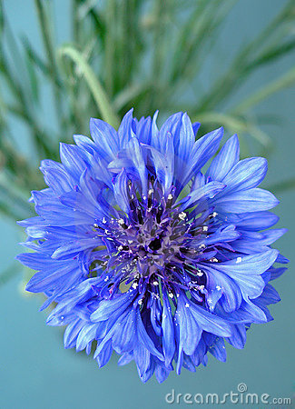 Free Cornflower Royalty Free Stock Images - 299159