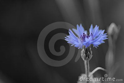 Cornflower in black and white