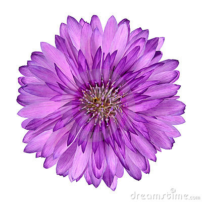 Cornflower like Pink Purple Flower Isolated