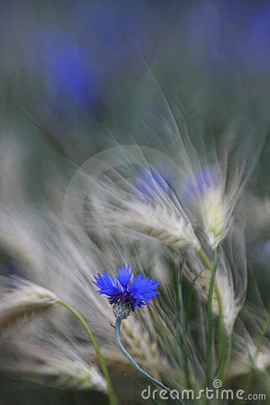 Cornflowers in barley field