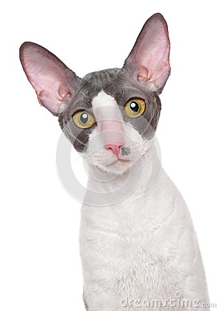 Cornish-Rex cat