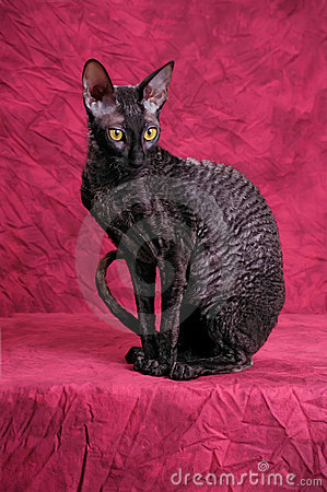 Free Cornish Rex Cat Stock Photography - 9439442