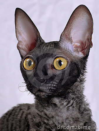 Free Cornish Rex Cat Royalty Free Stock Photography - 9439447