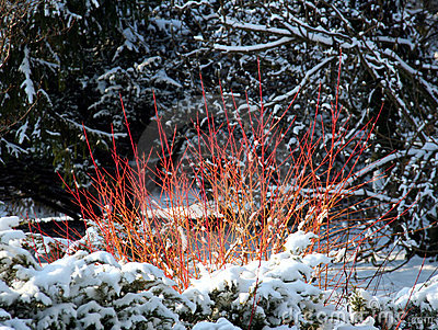 Cornus alba - ornamental shrub with red stems