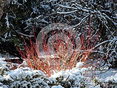 Cornus or dogwood in winter time